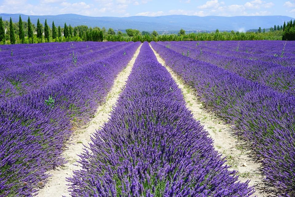 lavender-field-1595577_960_720